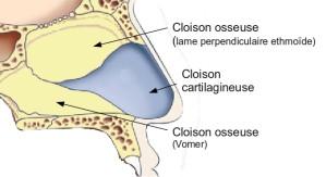 cloison nasale