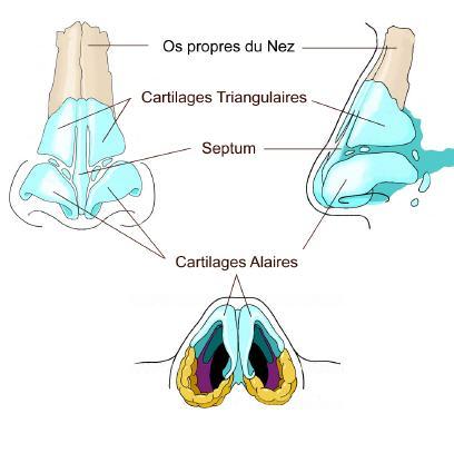Anatomie fonctionnement du nez et des sinus for Interieur du nez