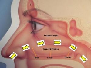 schema-de-la-respiration-nasale-676-660x660