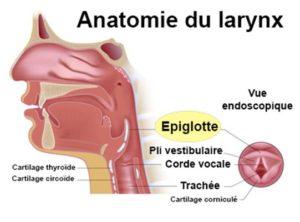 anatomie larynx